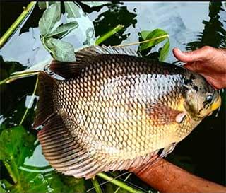 Supplier Ikan Gurame Bandung